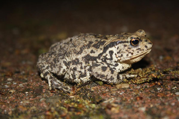 Common Toad (Bufo bufo) displaying a highly contrasting pattern. © Madeleine Wouda