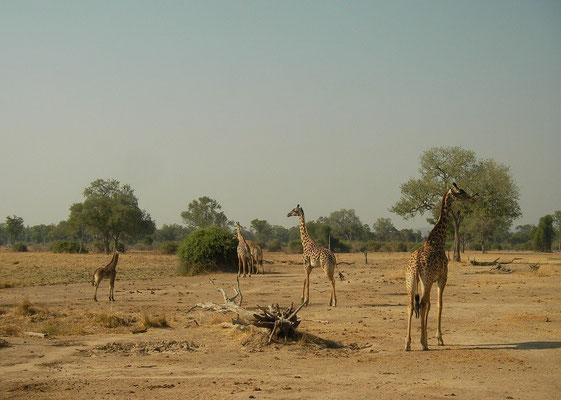 Rhodesian Giraffe (Giraffa camelopardalis thornicrofti) family