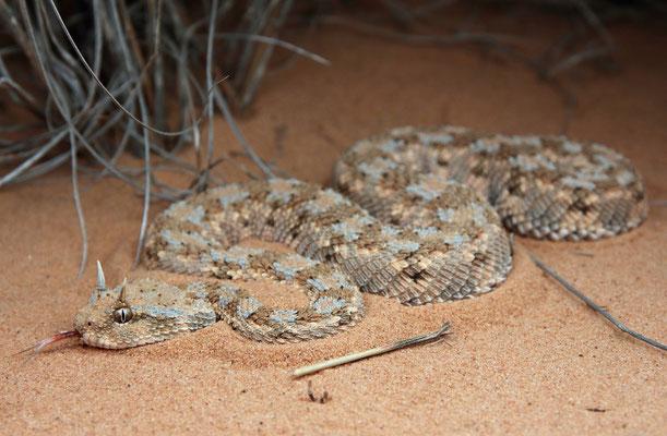 Desert Horned Viper (Cerastes cerastes)