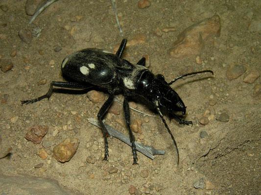 Domino Beetle (Anthia duodecimguttata)
