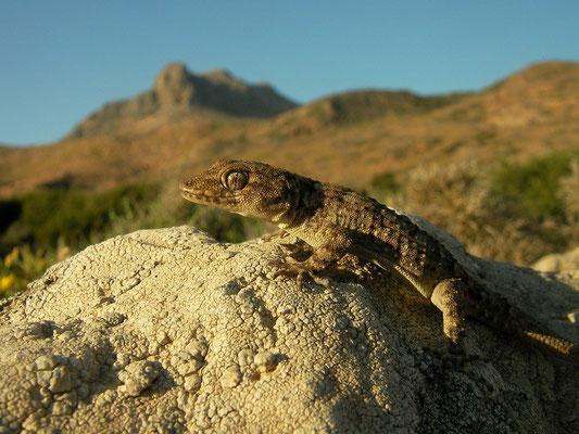 Kotschy's Gecko (Mediodactylus kotschyi), Milos, Greece, May 2013