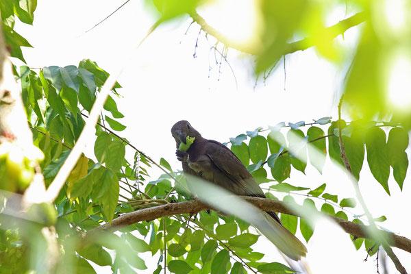 Praslin Parrot (Coracopsis barklyi)