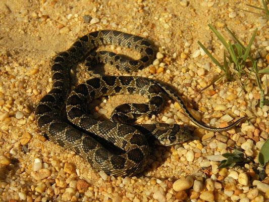 Horseshoe Whip Snake (Hemorrhois hippocrepis) juvenile, Huelva, Spain, February 2016