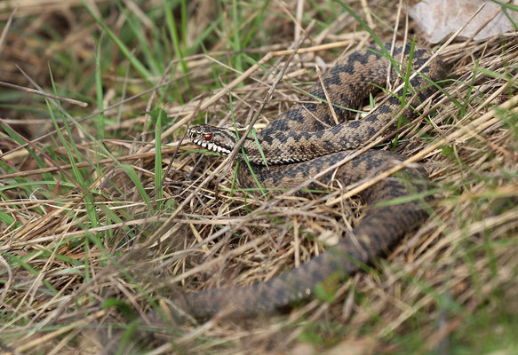Male Adder (Vipera berus)