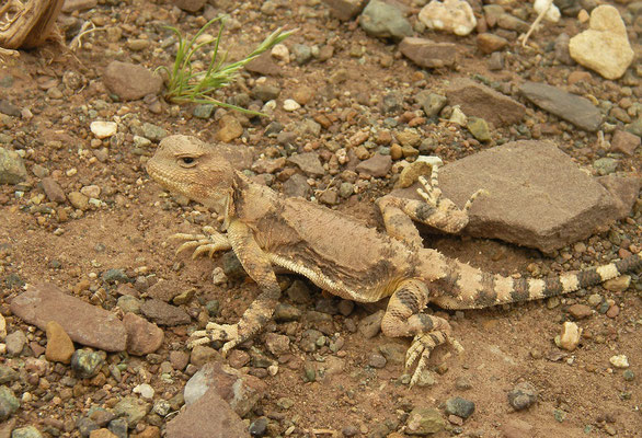 Gray Toad-headed Agama (Phrynocephalus scutellatus)