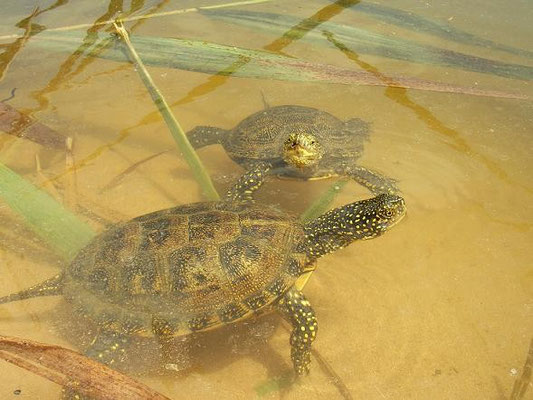 European Pond Terrapins (Emys orbicularis), Menorca, Spain, July 2007