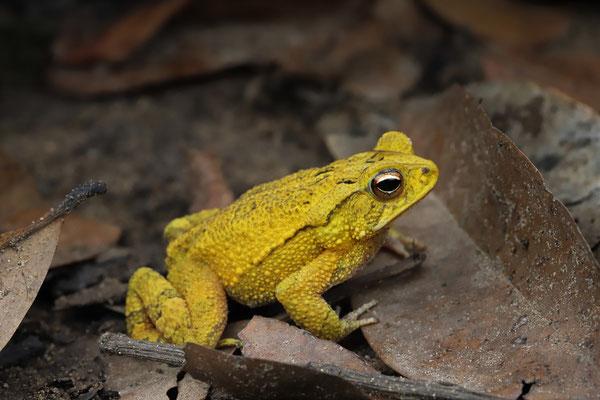 Dwarf Toad (Incilius canaliferus)
