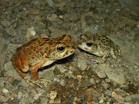 Arabian Toads (Sclerophrys arabica)