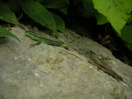 Green-bellied Lizard (Darevskia chlorogaster) couple