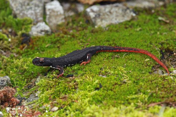 Southern Spectacled Salamander (Salamandrina terdigitata)