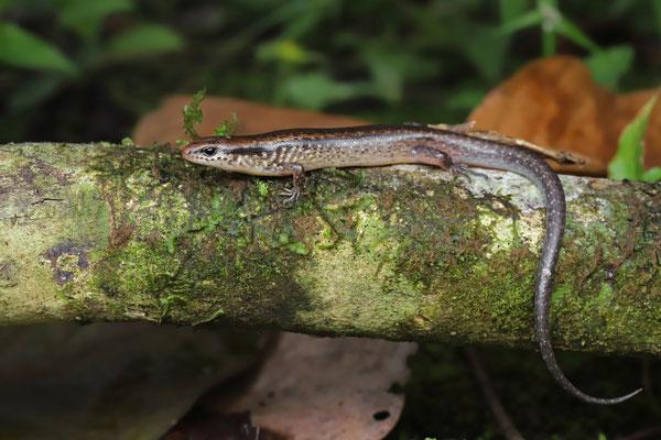 Brown Forest Skink (Scincella cherriei)