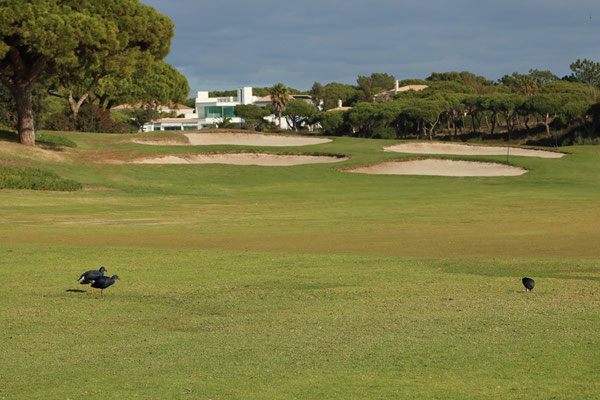 Golf courts at the edge of the Ria Formosa NP are excellent places for birding.