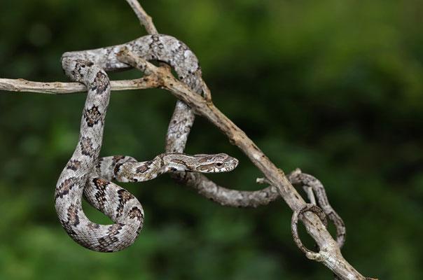 Puffing Snake (Phrynonax poecilonotus)