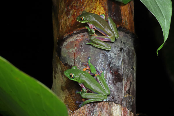 Golden-eyed Leaf Frog (Agalychnis annae) is found in healthy numbers here.