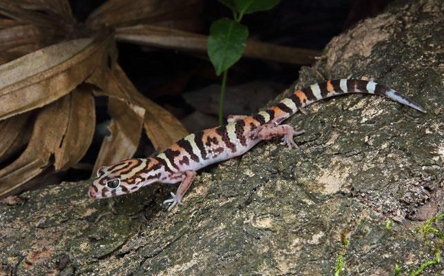 Yucatan Banded Gecko (Coleonyx elegans)