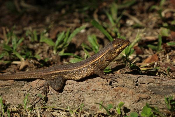 Longtail Spiny Lizard (Sceloporus siniferus)