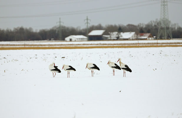 Storks (Ciconia cinconia) not enjoying the snow.
