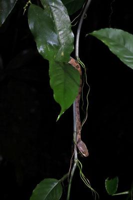 Ornate Cat-eyed Snake (Leptodeira ornata)