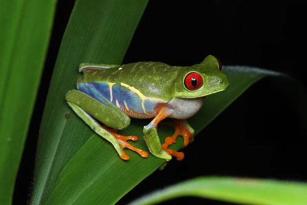 Red-eyed Leaf Frog (Agalychnis callidryas) calling male