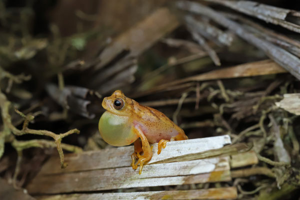 Veined Tree Frog (Dendropsophus phlebodes) calling male