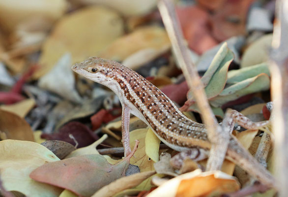 Wedge-snouted Skinks (Trachylepis acutilabris)