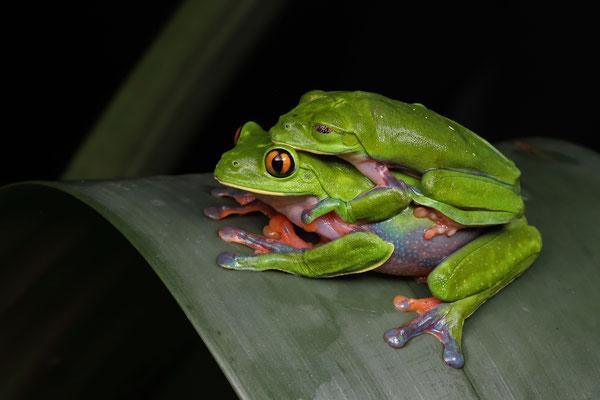 Golden-eyed Leaf Frog (Agalychnis annae) amplectant pair