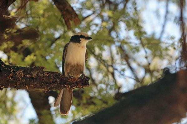 Southern White-crowned Shrike  (Eurocephalus anguitimens)