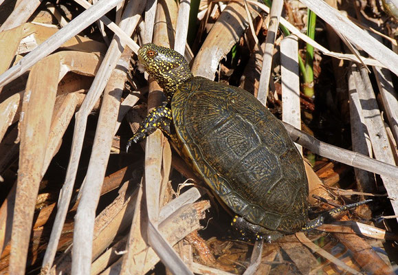 European Pond Terrapin (Emys orbicularis occidentalis)