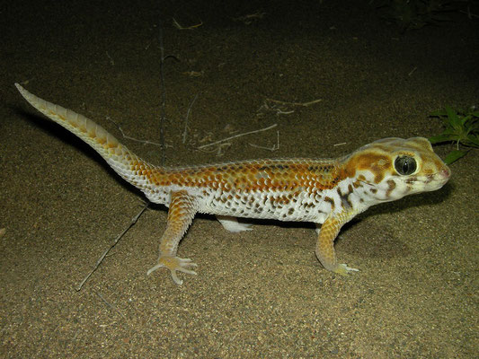Plate-tailed Gecko (Teratoscincus keyserlingii)