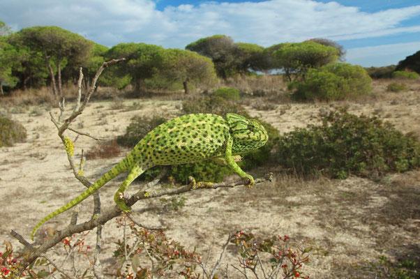 Mediterranean Chameleon (Chamaeleo chamaeleon) in its coastal dune habitat.