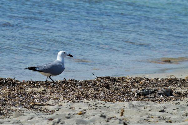 Audouin's Gulls (Ichtyaetus audouinii) patrolling the beach. © Madeleine Wouda