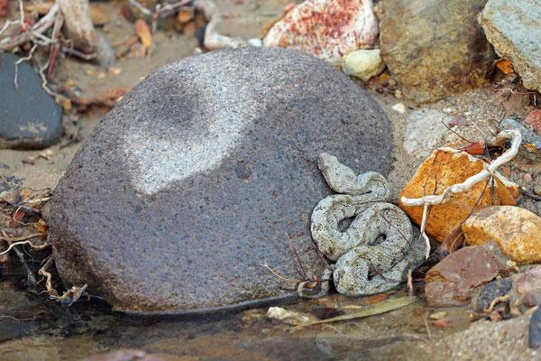Milos Viper (Macrovipera lebetina schweizeri) in ambush behind a rock.