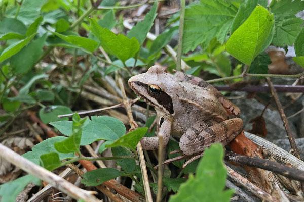 Beautiful pale Agile Frog (Rana dalmatina)