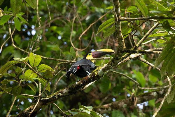 Yellow-throated Toucan (Ramphastos ambiguus) © Jasper Boldingh