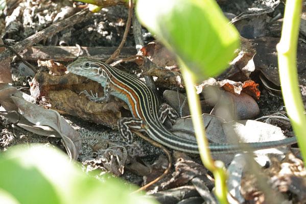 Deppe's Racerunner (Aspidoscelis deppii) adult