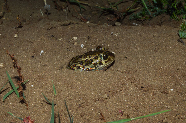 Spadefoot doing what a spadefoot does best. © Madeleine Wouda