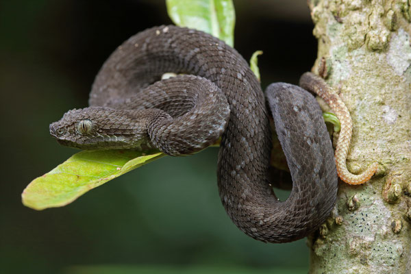 Great Lakes Bush Viper (Atheris nitschei) juvenile