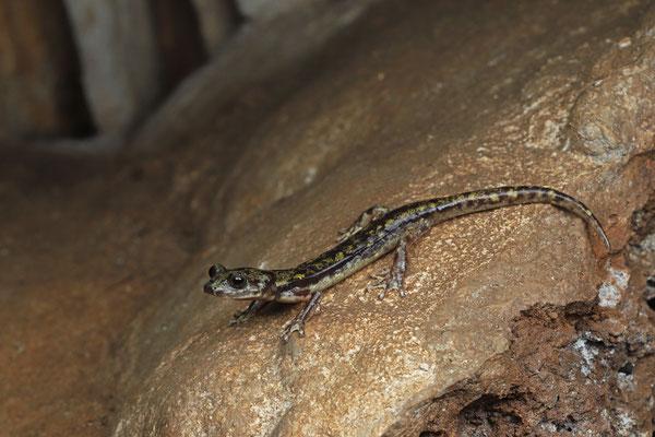 Sopramonte Cave Salamander (Speleomantes supramontis)