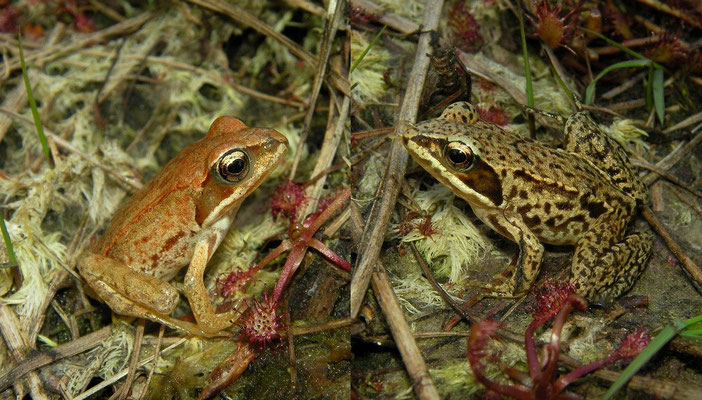 Moor Frogs (Rana arvalis)