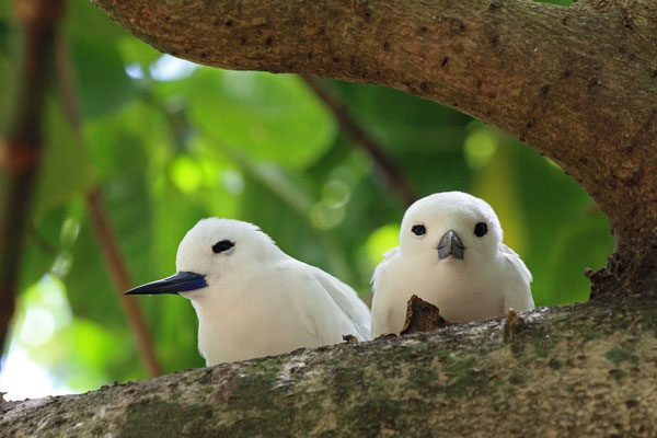 Fairy Terns (Gygis alba), these birds look so much like snowmen when they face you!