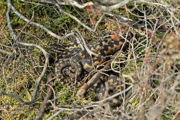 Adder (Vipera berus) male basking