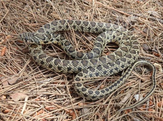 Horsheshoe Whip Snake (Hemorrhois hippocrepis)