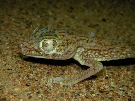 Middle Eastern Short-fingered Gecko (Stenodactylus doriae)