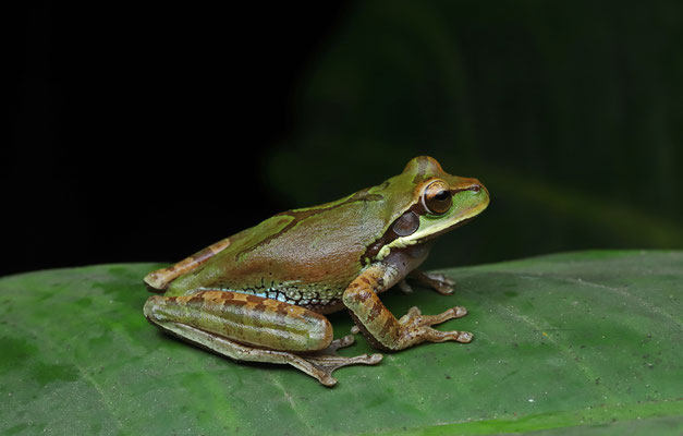 Blue-spotted Mexican Treefrog (Smilisca cyanosticta)