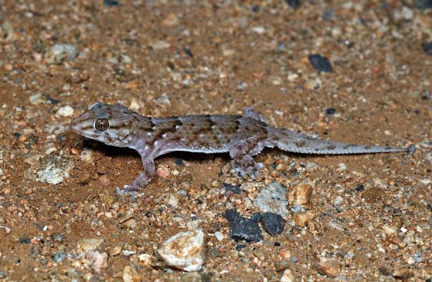 Bibron's Tubercled Gecko (Chondrodactylus bibronii)