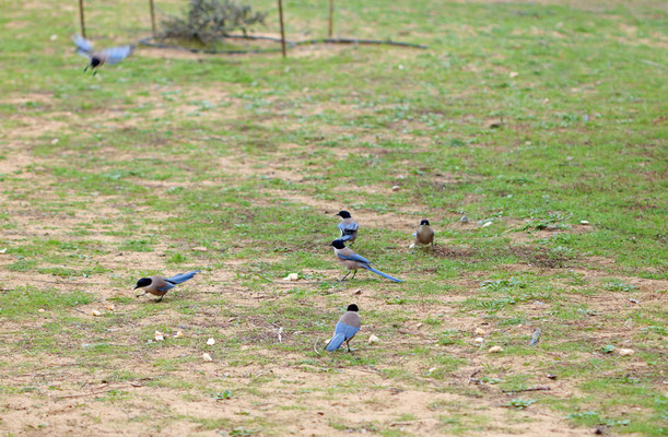Azure-winged Magpies (Cyanopica cooki) foraging.