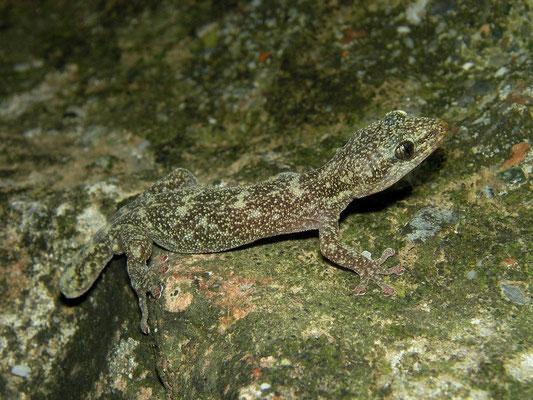 European Leaf-toed Gecko (Euleptes europaea), Genua, Italy, October 2013