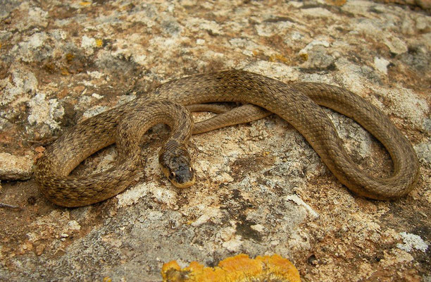 Balearic False Smooth Snake (Macroprotodon cucullatus), Menorca, Spain, October 2010