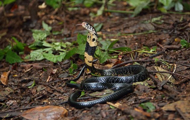 Forest Cobra (Naja melanoleuca)