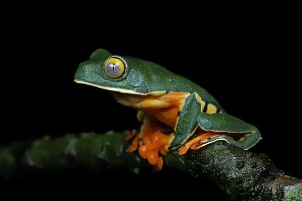 Splendid Leaf Frog (Cruziohyla sylviae)